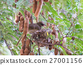 Mother bird perched on tamarind branch 27001156