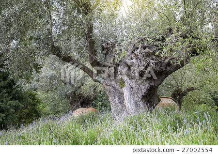 Old Olive Tree with Plants on Foreground 27002554