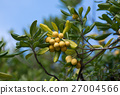 pittosporum, tobira, japanese 27004566
