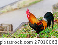 colorful rooster on green nature background 27010063