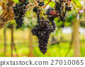 large bunches of red wine grapes hang from a vine 27010065