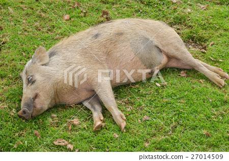 파푸아 뉴기니 돼지의 낮잠 27014509