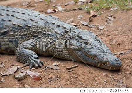Madagascar Crocodile, Crocodylus niloticus 27018378