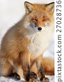 蝦夷紅狐狸 狐狸 坐 27028736
