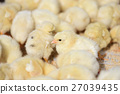 chick, chicks, baby 27039435