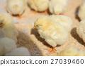 chick, chicks, baby 27039460