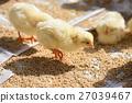 chick, chicks, baby 27039467