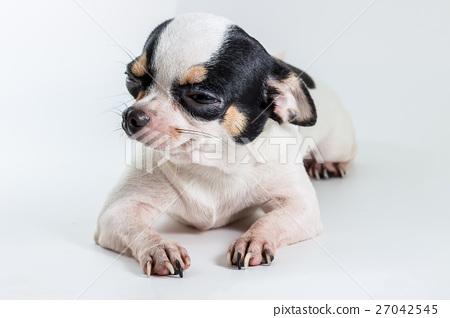 Cute Short Hair Chiwawa, Chihuahua 27042545