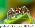 Male Two-striped Jumping Spider 27044521