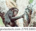 African Chimpanzee In Tree Portrait 27053883