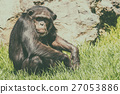 Lonely African Chimpanzee 27053886
