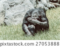 African Chimpanzee Hiding His Face 27053888