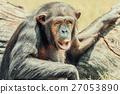 African Chimpanzee Portrait 27053890