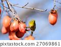鳥兒 鳥 日本柿 27069861