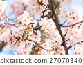 참새, 벚꽃, 작은 새 27070340