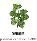 Coriander herb, cilantro, Chinese parsley leaves 27075990