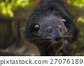 Binturong or bearcat (Arctictis binturong) 27076189