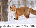 蝦夷紅狐狸 狐狸 野生動物 27078982
