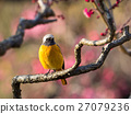 红尾鸲 梅 野生鸟类 27079236