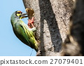 Coppersmith Barbet (Megalaima haemacephala), Bird  27079401