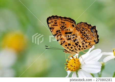 Butterfly Image of a wild butterfly 27080281