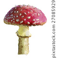 watercolor sketch of amanita on white background 27085929