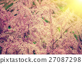 Tamarix meyeri Boiss bush in the garden. 27087298