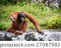 Orangutan Asian species of extant great apes 27087992