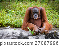 Orangutan Asian species of extant great apes 27087996