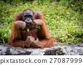 Orangutan Asian species of extant great apes 27087999