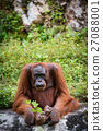 Orangutan Asian species of extant great apes 27088001