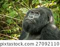 Silverback Mountain gorilla looking up. 27092110
