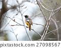 紅尾鴝 雄鳥 小鳥 27098567