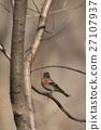燕雀 小鳥 分支 27107937