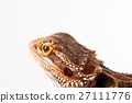 agama animal lizard 27111776