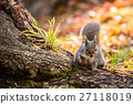 squirrel, squirrels, mammal 27118019