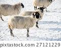 눈이 쌓이는 필드에 서있는 양들의 스코틀랜드 교외에서 27121229
