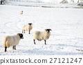 눈이 쌓이는 필드에 서있는 양들의 스코틀랜드 교외에서 27121247