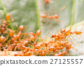 Red ant,Weaver Ants (Oecophylla smaragdina) 27125557