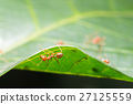Red ant,Weaver Ants (Oecophylla smaragdina) 27125559