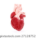 Medical illustration of a human heart 27128752
