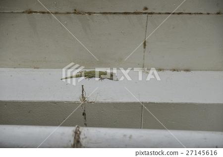 菲律賓壁虎 27145616