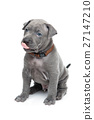 Thai ridgeback puppy isolated on white 27147210