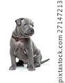 Thai ridgeback puppy isolated on white 27147213
