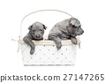 Two thai ridgeback puppies in basket isolated on 27147265