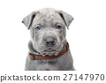 Thai ridgeback puppy isolated on white 27147970