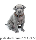 Thai ridgeback puppy isolated on white 27147972