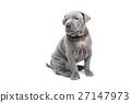 Thai ridgeback puppy isolated on white 27147973