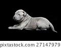 Thai ridgeback puppy on black background 27147979
