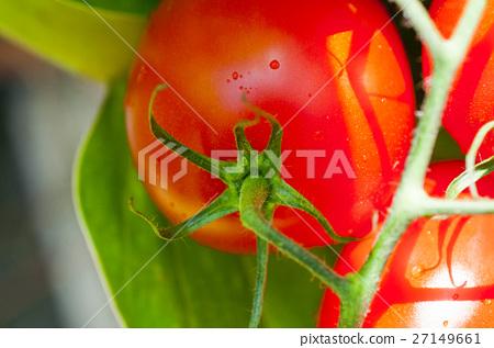 班板,西柿柿子,西紅柿,番茄,番茄 27149661